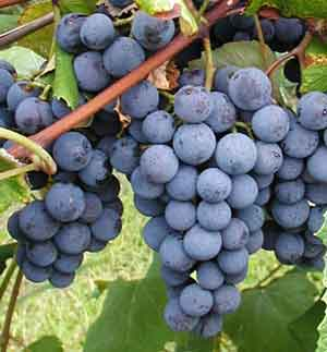 http://www.pjvoice.com/v45/photos/grape.jpg